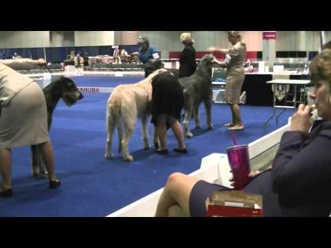 12-09-2014 Space Coast Kennel Club - Irish Wolfhounds