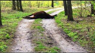 Uwaga. Drastyczne zdjęcia. Martwy koń na drodze w Chylinie