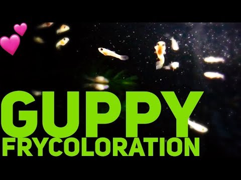 Guppy Fry Color Development (What's Normal??)