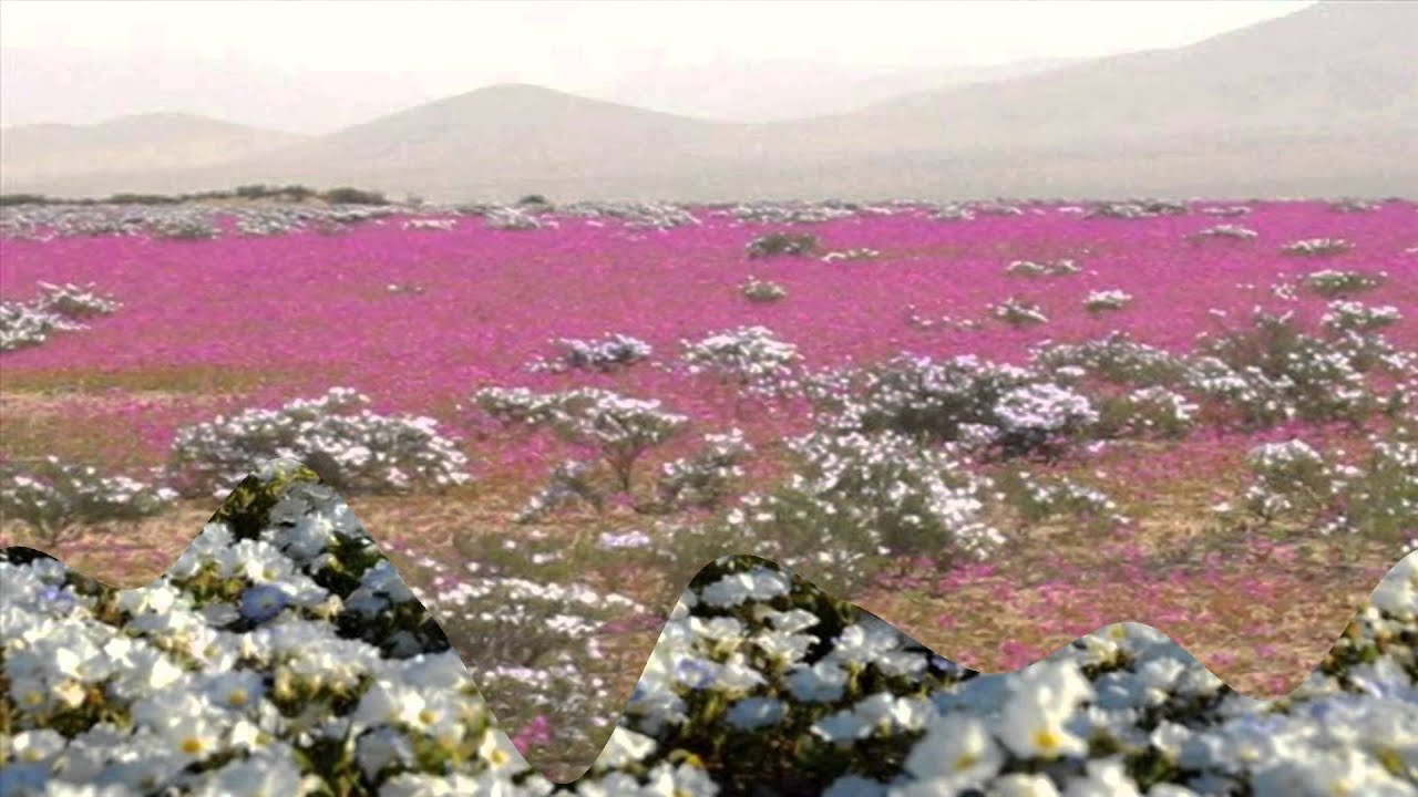 Desert Flowers of Atacama   Chile  HD1080p    YouTube