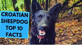 Croatian Sheepdog  TOP 10 Interesting Facts