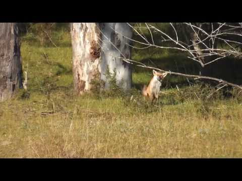 Fox Hunting In Winter 2015 - Sydney, NSW