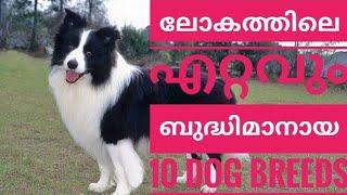 World's TOP 10  intelligent dog breeds 2020