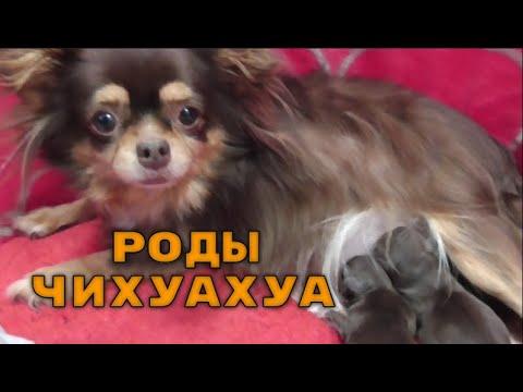 Роды у ЧИХУАХУА***ПОДРОБНО роды Собаки