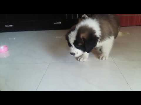 Saint Bernard Puppies Available For Sale at ARM Dog Kennel(1)