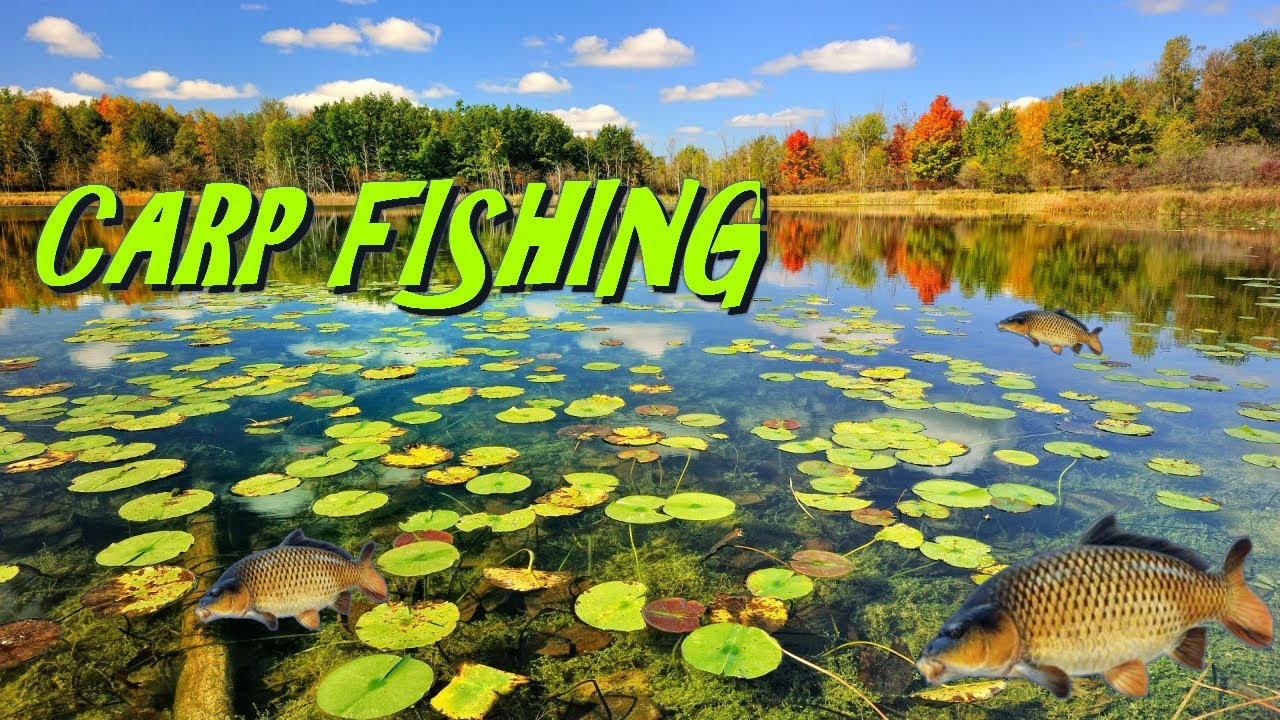 California carp fishing loaded pond youtube for Fishing without a license california