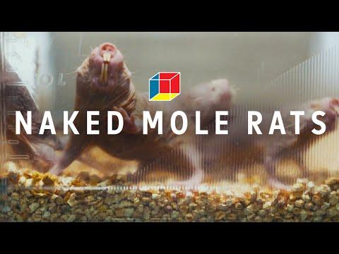 Can naked mole rats solve autism, epilepsy, and schizophrenia?    EXPERIMENTALS: Moles (part 1)