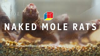 Can naked mole rats solve autism, epilepsy, and schizophrenia? || EXPERIMENTALS: Moles (part 1)