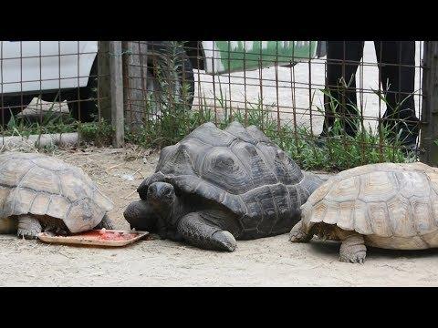 懸賞金50万円 行方不明のゾウガメ「アブー」見つかる 岡山・玉野の渋川動物公園