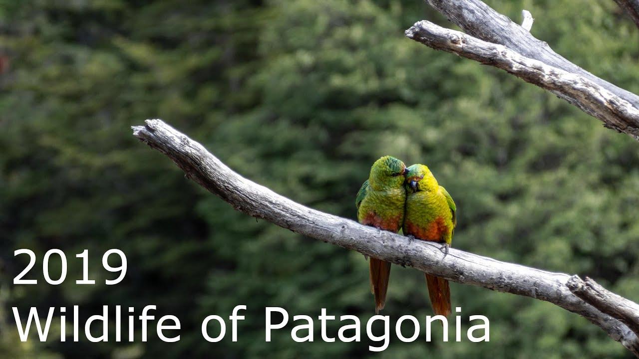Patagonská fauna | 4K