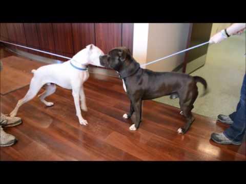 brown Pitbull dog testing
