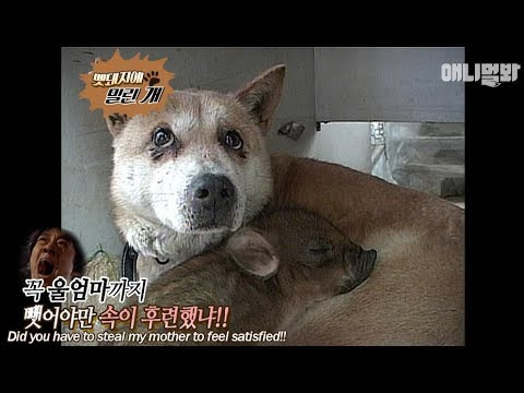 The puppy lost his mother to a wild pig lol