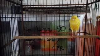 Video [Sample Kicauan] Kenari Prospek Prestasi Std.Besar F3YS PRINCE OF PERSIA - SKC JGJ TEAM download MP3, 3GP, MP4, WEBM, AVI, FLV Juni 2018