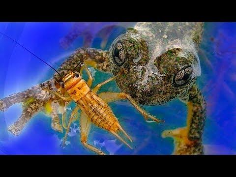 Frog Vs Cricket Garden Friends or Food