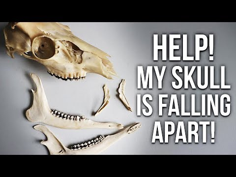 Skull Cleaning - Why is the skull coming apart?