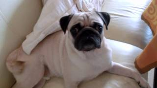 Pug Tilts His Head Wondering Why His Name Is Called