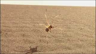 Cebrennus rechenbergi - păianjenul flic-flac