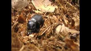 Zwarte doodgraver Nicrophorus humator apr 2012