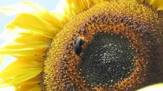 Bumblebee ~ Humble Bumble Bee ~ Bombus Lapidarius ~ Wildlife UK
