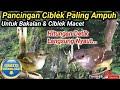 Pancingan Ciblek Agar Bunyi  Mp3 - Mp4 Download