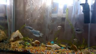 Аквариумные рыбки. Мраморный гурами. (Trichogaster)