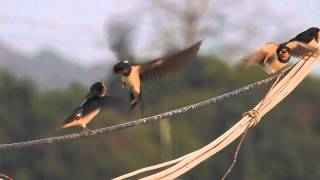 Nikon P900 barn swallow feeding HD