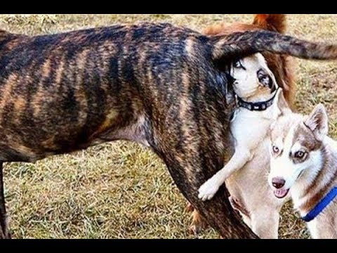 LAUGH or DIE LAUGHING - FUNNIEST DOG compilation