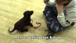 Freddie - Cocker Spaniel Puppy - 12 Day Residential Dog Training / Dog Boot Camp