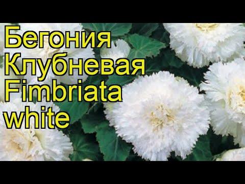 Бегония клубневая (Fimbriata white). Краткий обзор, описание характеристик, где купить луковицы