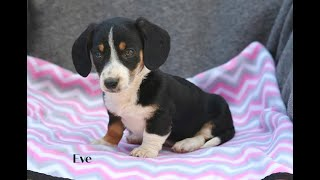 Texas for houston in puppies Miniature dachshund sale