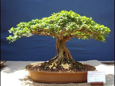 Kalahari Camel Thorn ( Acacia erioloba )
