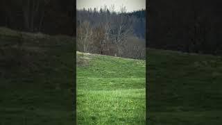 Lupo attacca capriolo al Passo della Futa