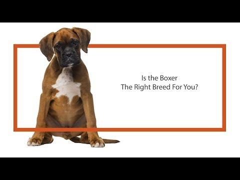 Is the Boxer the right breed for you?