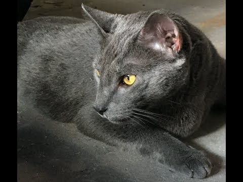 Introducing Petey my new Russian blue cat w yellow eyes! he's real chill