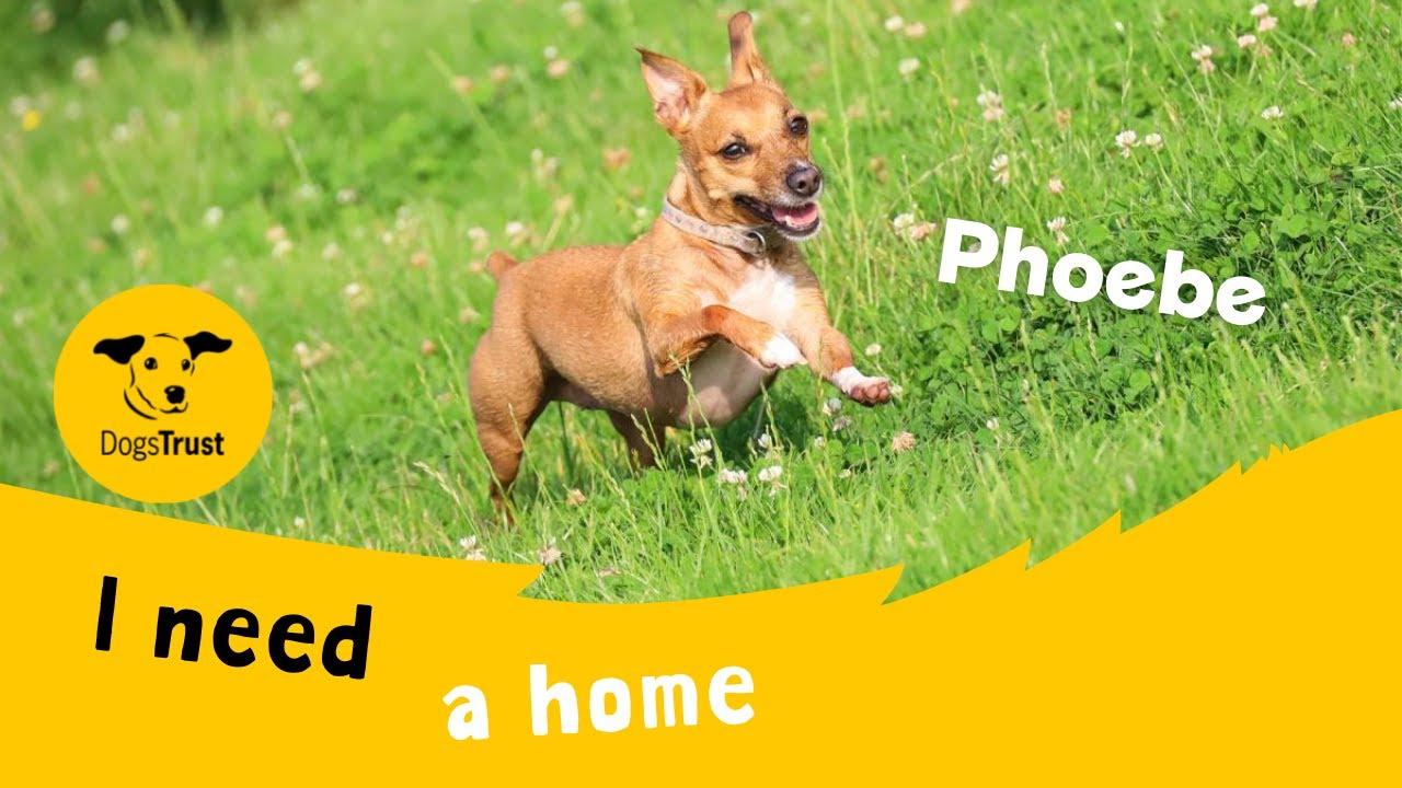 Phoebe the delightful Jack Russell Terrier   Dogs Trust Leeds