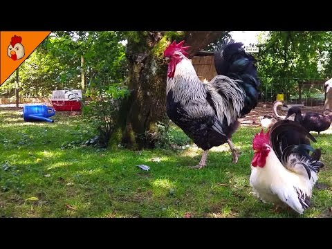 Small and Big Rooster Crowing in the Morning - Big Brahma Chicken Sounds - Relaxing Animal Pets