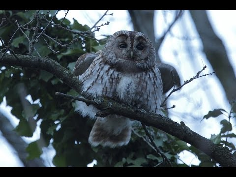 Chouette hulotte chant d'excitation (tawny owl)