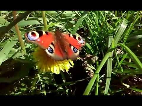 Nappali pávaszem - Inachis io, pillangó (lepke) - YouTube