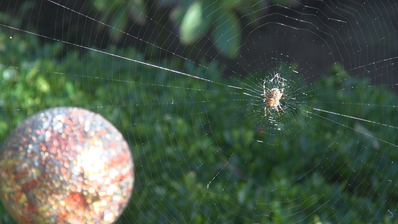 orb spider web time lapse with ambient backyard nature sounds