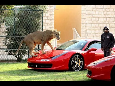 Príncipe HanDam de Dubai brincando com seus leões