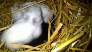 Valley Rabbits Himalayan Lionhead Doe - Vivienne & Her 3 Babies