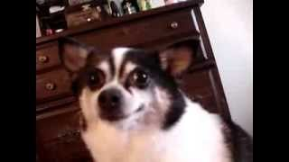Cookie( Chihuahua Pomeranian Mix) Howling To His Squeaky Toy