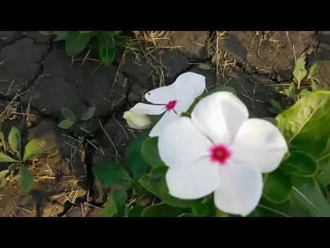 Катарантус выращивание в саду и дома . Не сложно . 🌱