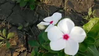 Катарантус выращивание в саду и дома .