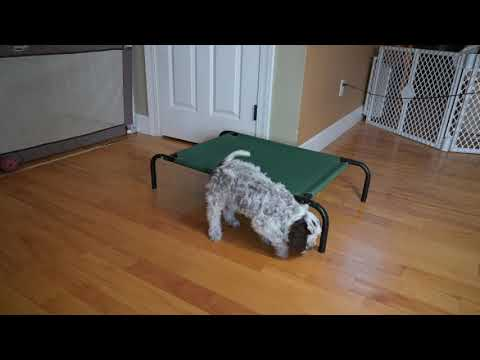 Training your Lagotto Puppy
