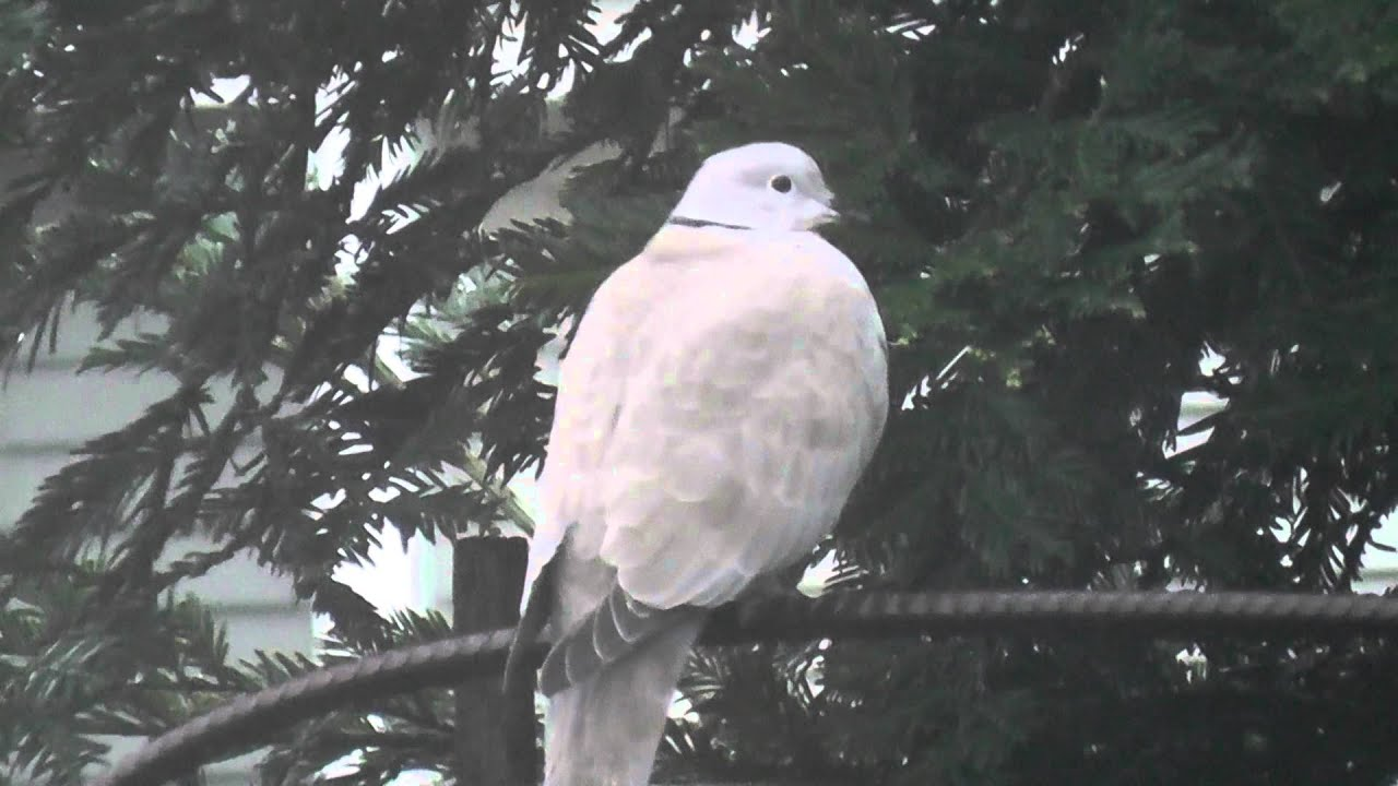 Hd High Definition Pretty White Dove Pigeon Mourning Doves 12 15 2017