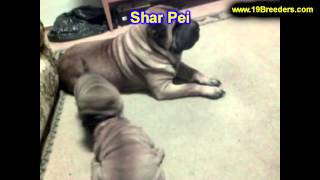 Sharpei, Puppies, For, Sale, In, Salt Lake City, Utah, UT, Tooele, Kearns, Cottonwood Heights, Pleas