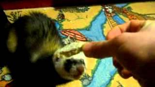 Тёма домашний хорек (ferrets playing)