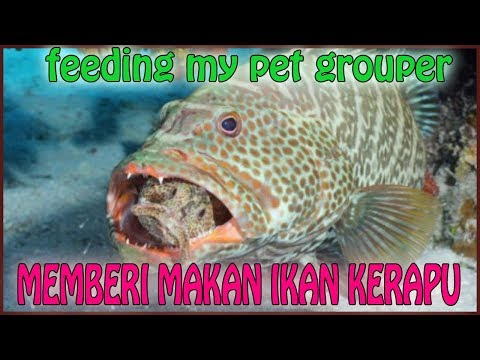 MEMBERI MAKAN IKAN KERAPU // FEEDING GROUPER