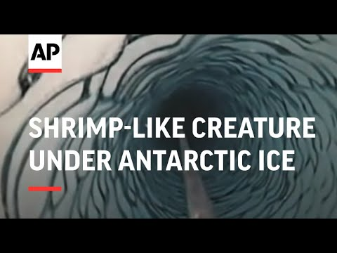 Scientists find shrimp-like creature under Antarctic ice sheet